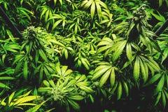 Vista superiore delle piante da vaso germoglianti picchettate su all'azienda agricola della cannabis Fotografia Stock Libera da Diritti