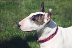 Vista superiore di Bull del Terrier del ritratto inglese di profilo Fotografia Stock