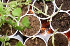 Vista superiore di giovani piante di pomodori in vasi di plastica a forma di rotondi Fotografia Stock Libera da Diritti
