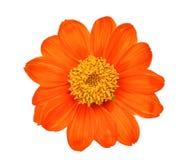 Vista superiore di singolo fiore arancio isolato su bianco Fotografia Stock