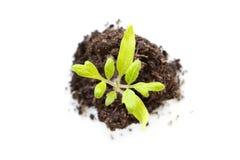 Vista superiore di una plantula crescente su fondo bianco, nuova vita, facente il giardinaggio, ambiente, concetto di ecologia fotografia stock