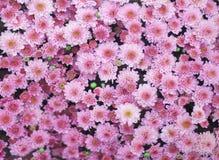 Vista superiore gruppo rosa variopinto enorme dei fiori del crisantemo che fiorisce nel giardino fotografia stock