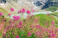 Vista svizzera delle alpi con i fiori di rosa selvaggio Fotografia Stock