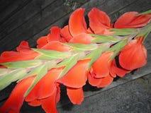 Vista traseira da haste da flor de Gladiola Imagens de Stock