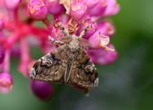 Vista trasera de la ejecución de la polilla gitana en la flor de Medinella Magnifica imágenes de archivo libres de regalías