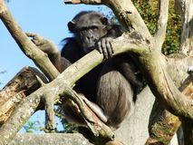 Vista triste do macaco só, Abenteurland Walter Zoo foto de stock