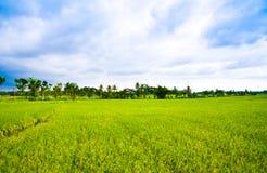 Vista tropicale della giungla del riso del terrazzo della foresta pluviale verde fertile del campo nell'alba asiatica del sud di  fotografie stock