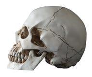Vista umana isolata di laterale del cranio Immagine Stock