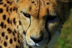 Vista unica di una fine del ghepardo in su Immagini Stock