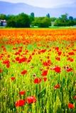 Vista vertical de flores da papoila em um campo de trigo foto de stock