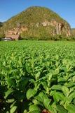 Vista verticale della piantagione del tabacco in Vinales, Cuba Fotografie Stock Libere da Diritti