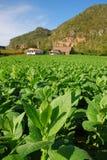Vista verticale della piantagione del tabacco in Vinales, Cuba Fotografia Stock