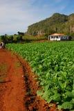 Vista verticale della piantagione del tabacco in Vinales, Cuba con il percorso di camminata rosso dei suoli a sinistra Fotografia Stock Libera da Diritti