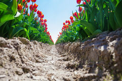 Vista vicina dalla terra della terra dei tulipani arancio fotografie stock libere da diritti