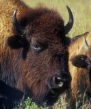Vista vicina del bisonte Immagini Stock Libere da Diritti