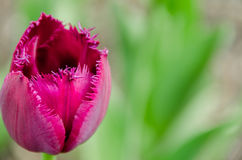Vista vicina del fiore del tulipano Fotografia Stock