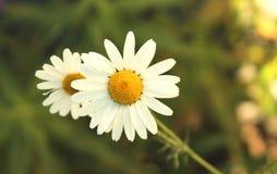 Vista vicina del fiore della camomilla nella macro di giorno di estate fotografia stock