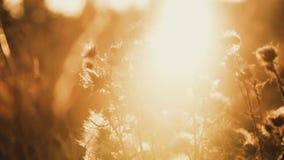Vista vicina della steppa selvaggia attraverso il cardo selvatico dorato sui lampeggi del sole archivi video