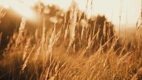 Vista vicina della steppa selvaggia attraverso le orecchie e l'erba dorate sui lampeggi del sole video d archivio