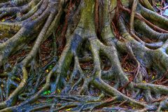 Vista vicina delle radici dell'albero di banyan dopo la pioggia fotografia stock