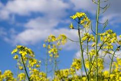 Vista vicina di colza in fioritura con il fondo del cielo Fotografie Stock Libere da Diritti