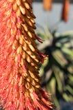 Vista vicina di fioritura del fiore arancio e rosso dell'aloe, fuoco selettivo Fotografia Stock
