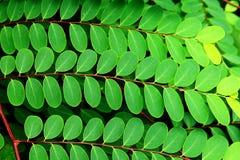 Piccole foglie oblunghe Fotografia Stock