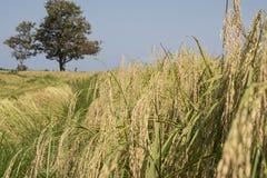 Vista vicina di un giacimento del riso di maturazione Immagini Stock Libere da Diritti