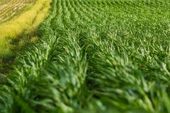Vistas das fileiras da mola do milho de campo que torcem e que giram no imagem de stock