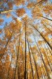Vistas naturais de Snezana as vantagens nas partes superiores de árvores de vidoeiro com folha dourada brilhante no fundo do céu  imagens de stock royalty free