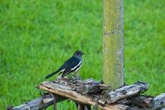 Vistazo del pájaro en Imagen de archivo