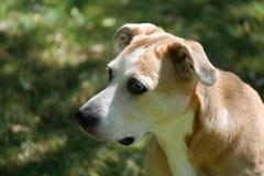 Vistazos del perro de la mezcla del beagle a la distancia en retrato de la yarda imagen de archivo libre de regalías