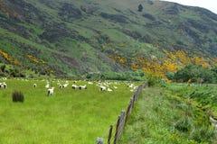 Viste della montagna e pecore di pascolo Fotografie Stock Libere da Diritti
