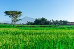 Viste delle risaie con gli ambiti di provenienza della montagna in una zona rurale in Indonesia fotografia stock libera da diritti