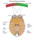 The visual projection pathway. Diagram explaining how visual signals are received by the brain, eps8 Royalty Free Stock Photo