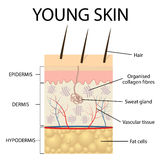 Visual representation of young skin. Stock Images