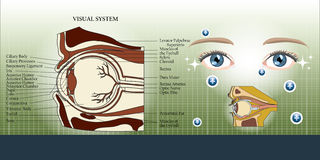 Visual system and eye anatomy background Royalty Free Stock Photography