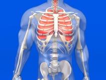 Visualização humano da anatomia - os pulmões em uma BO semi transparente Imagem de Stock
