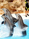 Visualización del delfín Foto de archivo libre de regalías