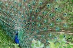 Visualizar el pavo real Imagen de archivo