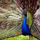 Visualizzazione del pavone fotografia stock libera da diritti