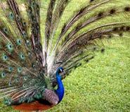 Visualizzazione maschio del pavone fotografia stock