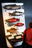 Visualizzazione pacifica dei salmoni del centro di vita di mare dell'Alaska Fotografia Stock Libera da Diritti