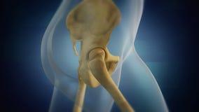 Visualizzazione pelvica di scheletro umana di area Destra immagini stock libere da diritti