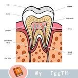Visuell ordbok för barn om tänder Bildande affisch om delar av tanden royaltyfri illustrationer