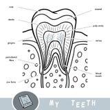Visuell ordbok för tecknad film om tänder Bildande affisch om delar av tanden royaltyfri illustrationer