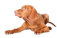 Viszla dog portrait Stock Image