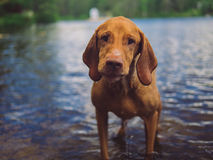 Viszla Dog Standing in Lake at Cottage Royalty Free Stock Photos