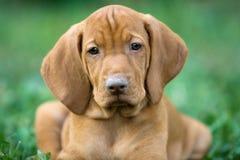 Viszla húngaro, filhote de cachorro Imagens de Stock