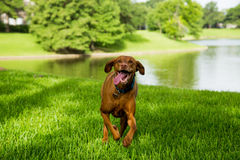 Viszla Running. Towards camera through grass with lake in background Royalty Free Stock Image